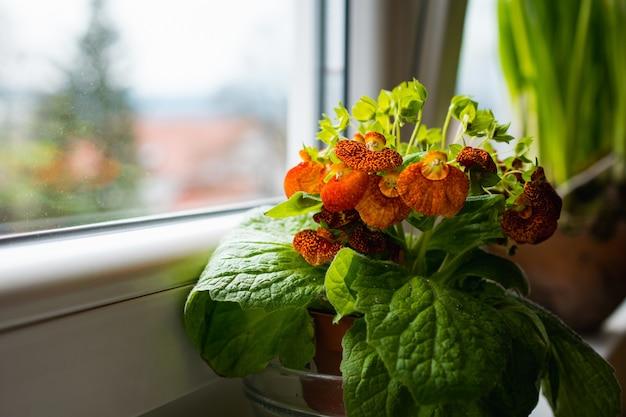 Primer plano de una planta de interior con flores naranjas cerca de una ventana