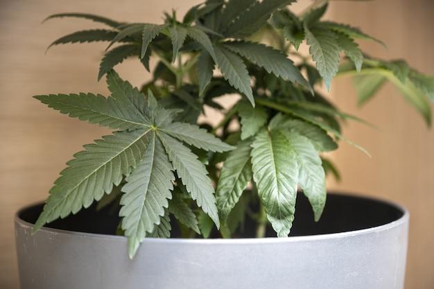 Primer plano de una planta de marihuana verde en una olla blanca