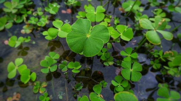 Primer plano de una planta de trébol que crece en el agua