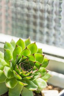 Primer plano de la planta verde suculenta