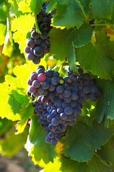 Primer plano de la planta de viñedos