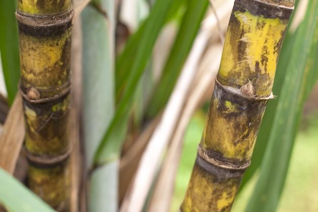 Primer plano de la plantación de caña de azúcar