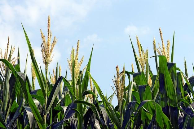 Primer plano de plantas de maíz con borla