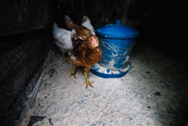 Primer plano de pollitos de gallina en el gallinero