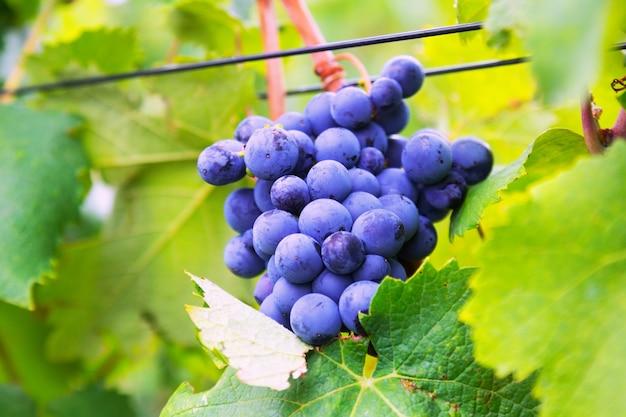 Primer plano de racimo de uvas