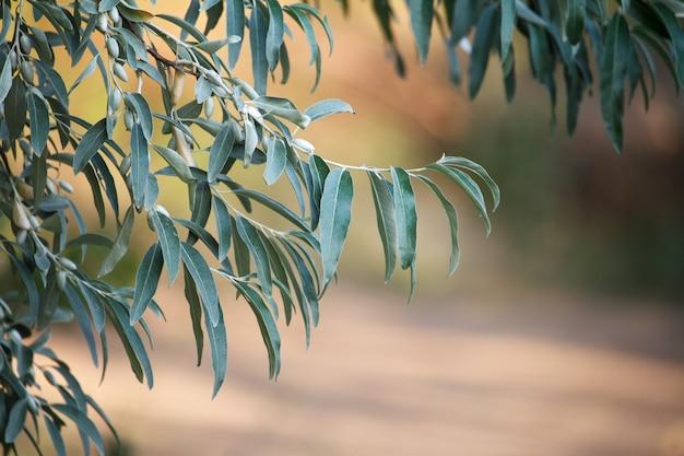 Primer plano de una rama de aceitunas verdes en un fondo borroso de un olivar