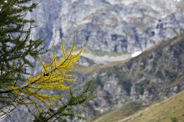 Primer plano de las ramas de larix rodeadas de montañas bajo la luz del sol con un fondo borroso