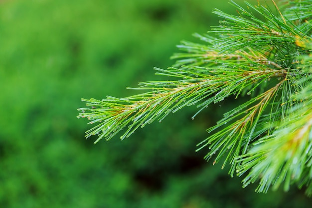 Primer plano de ramas de pino con gotas de agua