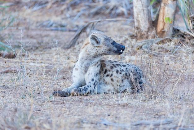 Primer plano y retrato de una linda hiena manchada acostada en el monte