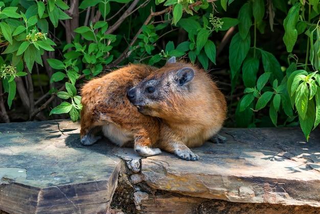 Primer plano de rock hyrax o procavia capensis