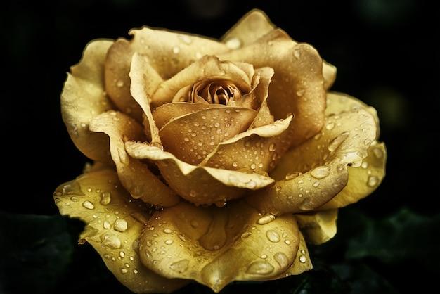 Primer plano de una rosa amarilla cubierta de gotas de rocío