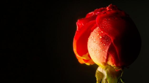 Primer plano rosa roja con gotas de agua