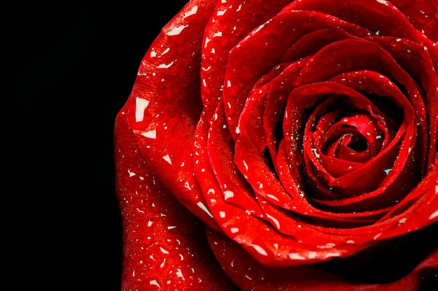 Primer plano de rosa roja sobre fondo negro