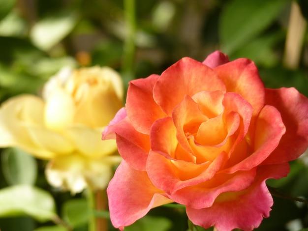 Primer plano de las rosas blancas y rosadas una al lado de la otra