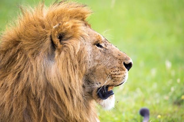 Un primer plano del rostro de un león en la sabana de kenia