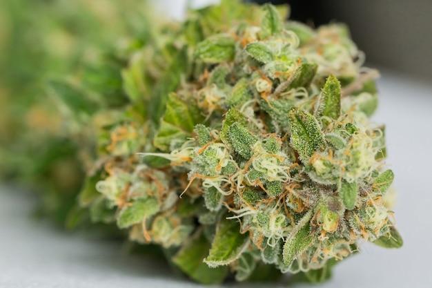 Primer plano selectivo de cannabis seco sobre una superficie blanca