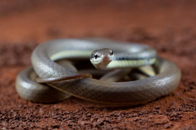 Primer plano de la serpiente liopeltis en hojas verdes vista frontal de la serpiente leopeltis