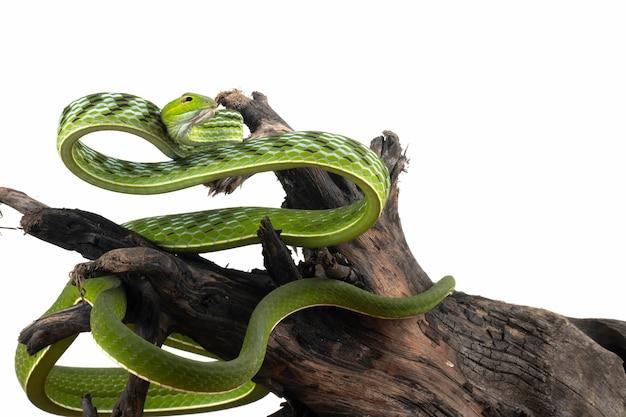 Primer plano de la serpiente de vid asiática en una rama en blanco