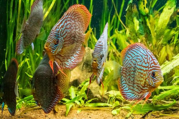 Primer plano submarino de hermosos peces disco marrón