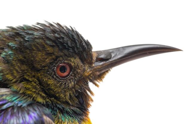 Primer plano de sunbird de garganta marrón