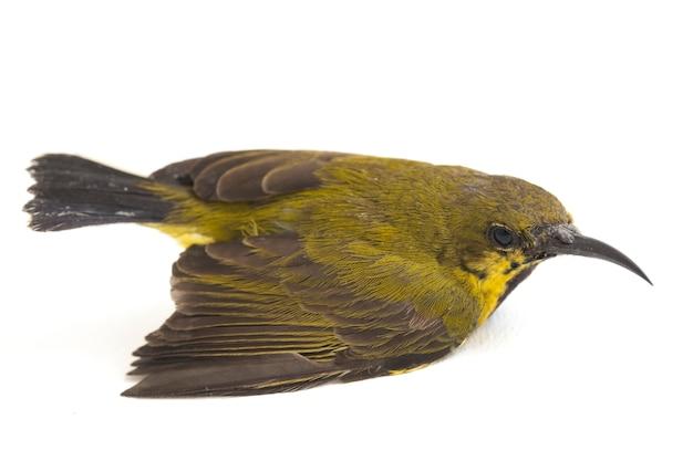 Primer plano de sunbird de oliva