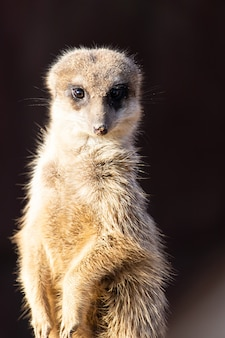 Primer plano de una suricata alerta mirando directamente