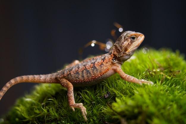 Primer plano de tiro de reptil. el pequeño lagarto que llama al agama barbudo