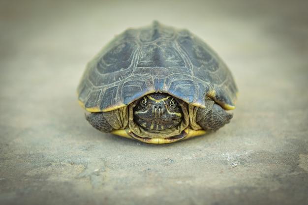 Primer plano de tortuga acuática en el fondo de tierra.