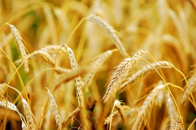 Primer plano de trigo dorado