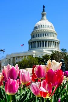 Primer plano de tulipanes bajo la luz del sol con el capitolio de los estados unidos en el fondo borroso