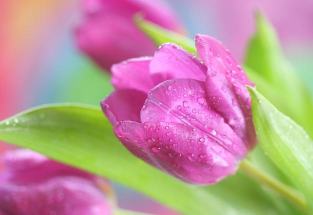 Primer plano de tulipanes