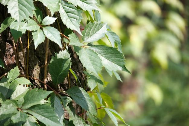 Primer plano de uvas silvestres rodea un viejo tronco de árbol en un bosque de pinos