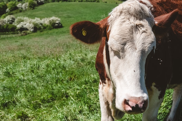 Primer plano de una vaca blanca y marrón pastando en el pasto durante el día