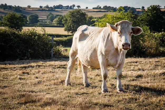 Primer plano de una vaca blanca pastando en un prado, rodeado por una valla