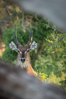 Primer plano vertical de la cabeza de un ciervo con hermosos cuernos