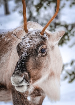 Primer plano vertical de un ciervo en el bosque nevado en invierno
