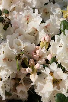 Primer plano vertical de flores de rododendro blanco