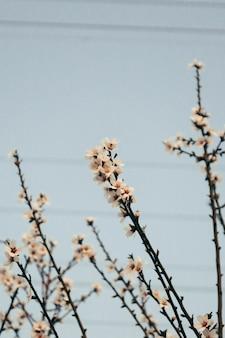 Primer plano vertical de una hermosa flor de cerezo en la noche