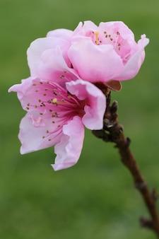 Primer plano vertical de una hermosa flor de cerezo de pétalos de rosa