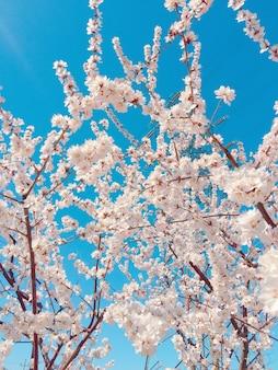 Primer plano vertical de hermosas flores de cerezo contra el cielo azul