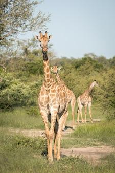 Primer plano vertical de lindas jirafas caminando entre los árboles verdes en el desierto