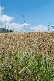 Primer plano vertical de ramas de hierba dulce en el campo