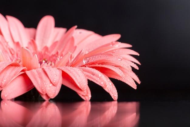 Primer plano vista frontal pétalos de gerbera rosa