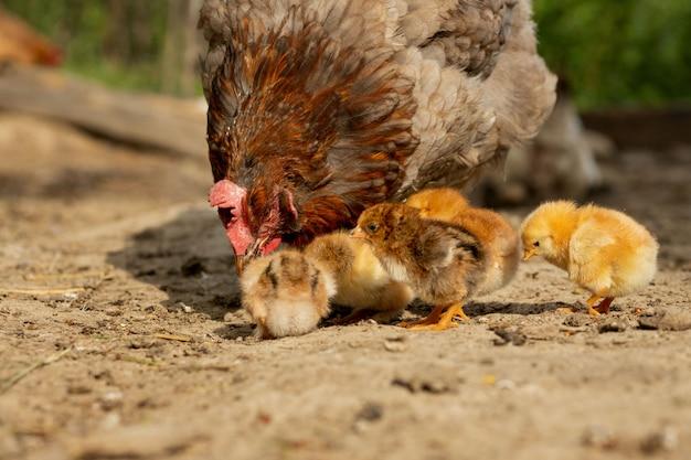 Primer de un pollo de la madre con sus polluelos del bebé en la granja. gallina con pollitos