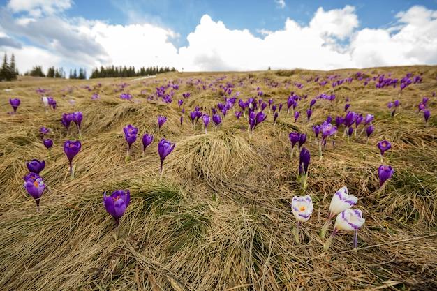 Primer de las primeras flores hermosas de la primavera, azafranes violetas que florecen en las montañas de los cárpatos en la mañana brillante de la primavera en fondo de oro soleado borroso. protección del concepto de naturaleza.