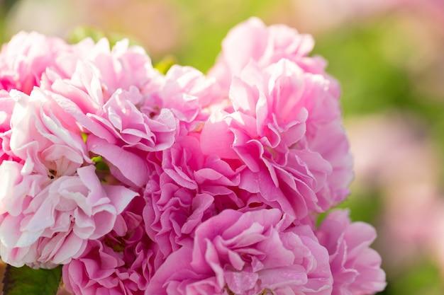 Primer rosado del arbusto de rosa en fondo del campo