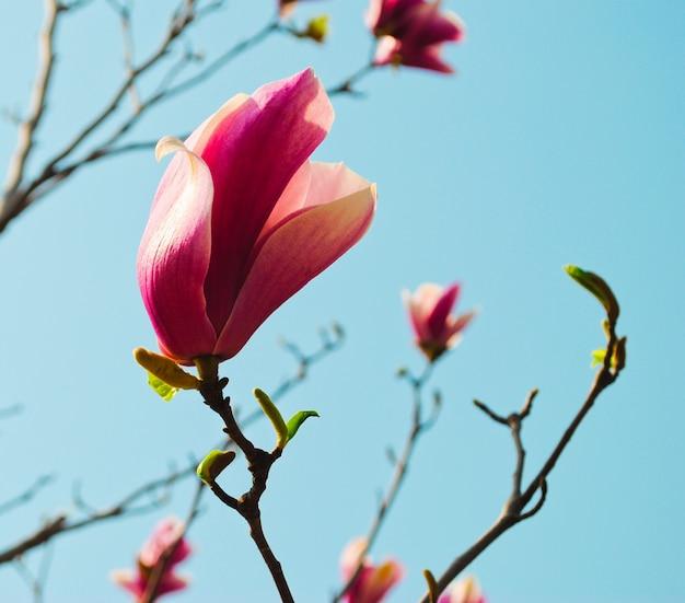 Primer rosado de la flor de la magnolia