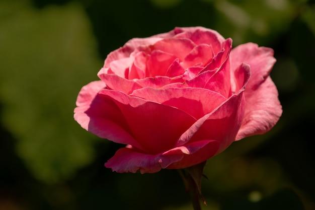 Primer tiro de una flor rosa rosa en su plena floración