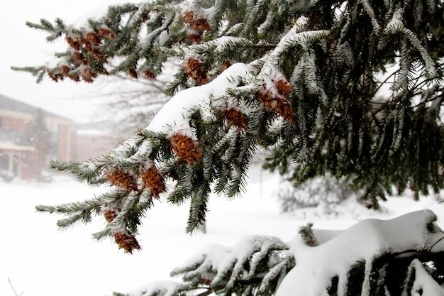 Primera nieve pino conos arbol naturaleza invierno.