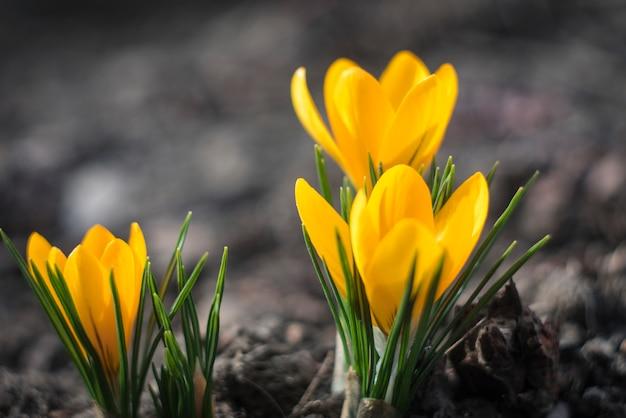 Primeras flores de primavera. azafranes amarillas